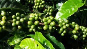 pianta caffè arabica